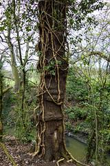 Brunswick Park, Barnet (London Less Travelled) Tags: uk unitedkingdom britain england london city urban tree creeper park barnet brunswickpark wood water river
