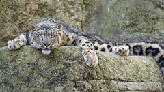 Comfortably looking at me (Tambako the Jaguar) Tags: snowleopard big wild cat young posing resting funny cute cool rock stone portrait face paw basel zoo zolli switzerland nikon d5