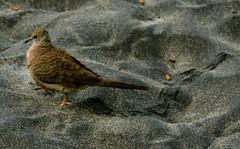 Inca Dove, Columbina inca (asterisktom) Tags: dove mexico incadove columbinainca oaxaca coastal 2019 march mazunte bird vogel ave 鸟 птица 鳥 pajaro mexico2019janmarch