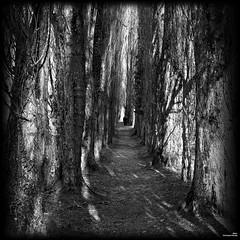 Allée des grands arbres (Un jour en France) Tags: canoneos6dmarkii canonef1635mmf28liiusm arbre carré monochrome noiretblancfrance noiretblanc