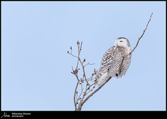 Harfang des neiges (Sébastien Dionne photographe) Tags: harfang harfangdesneiges snowyowl owl hibou hiboux hiver winter isleverte bassaintlaurent canon canon5dmarkiv canon5dmkiv 5dmarkiv 5dmkiv 150600mm 150600 sigma sigma150600 sigma150600dgoshsmsport sigma150600s