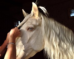 Albus (Raquel Borrrero) Tags: horse manehorse mane crines caballo albino hand