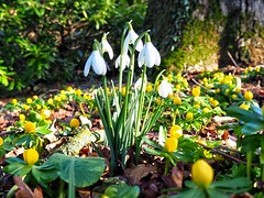 Snowdrops and Winter Aconites, Northumberland (uterpi12@yahoo.co.uk) Tags: wildflowers aconites snowdrops