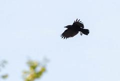 Corvus brachyrhynchos (Dan Brekke) Tags: americancrow corvusbrachyrhynchos crow berkeley corvids