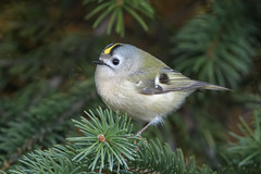 Goldcrest (JS_71) Tags: nature wildlife nikon photography outdoor 500mm bird new spring see natur pose moment outside animal flickr colour poland sunshine beak feather nikkor d500 wildbirds planet global national wing eye watcher