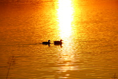 Ducks on Golden Pond (Eddie Crutchley) Tags: europe england cheshire outdoor nature lake beauty sunset birds ducks sunlight simplysuperb colour water greatphotographers