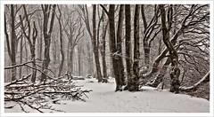 snow forest (Norbert Kaiser) Tags: ostsee balticsea rügen inselrügen wald forest bäume trees winter schnee snow nationalpark jasmund nationalparkjasmund natur nature landschaft landscape mecklenburgvorpommern vorpommern