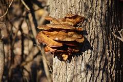 Fungi (timvandenhoek1) Tags: sonyilce6000 sonye55210mmzoomlens olympustcon17x timvandenhoek midwest missouri fungi fungus dianabendconservationarea cottonwoodtree rocheport mushroom mushrooms