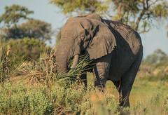 Something for Breakfast (selvagedavid38) Tags: animal elephant eating africa okavangodelta sa fari botswana feeding food trunk tusks grey canon safari wildlife mammal forage graze grazing