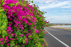 Colorful Flowers on the Way to Mui Ne, Vietnam