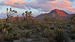 Orange Mountains (Lone Rock) Tags: alpenglow arizona chollacactus dolansprings joshuatrees mountain sunset unitedstates usa yucca cerbatmountains
