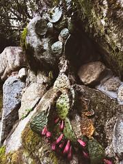 雨の日の仙人掌 (echipon) Tags: 雨 サボテン cactus 竈門神社