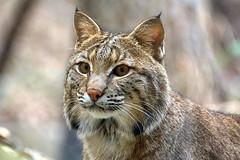 bobcat, Ally (ucumari photography) Tags: ucumariphotography animal mammal nc north carolina zoo january 2019 bobcat lynxrufus dsc5234 specanimal specanimalphotooftheday