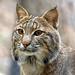 bobcat, Ally