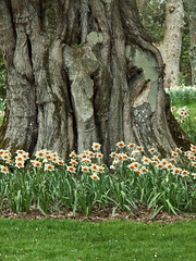 Daffodils Under a Fir Tree (Cornishcarolin. Just moved house!! BUSY!!! xxxxxx) Tags: cornwall httpswwwnationaltrustorguktrelissick nature flowers daffodils trees treetrunk bark 1001nights 1001nightsmagiccity 1001nightsmagicwindow