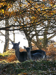 deer6 (andy_rae) Tags: cannockchase deer brocton stafford cannock autumn staffordshire chase