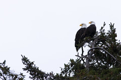 Bald eagle pair on a cloudy day. (hlaalfs) Tags: bald eagle washington camano island pair valentines day cloudy perch tree raptor canon 80d 400mm f56l