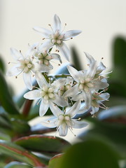 Geldbaumblüten (guenther_haas) Tags: moneytree dollarplant jadetree friedshiptree geldbaum blüten blossom flower opympus omd em5 mzuiko 40150mm pro neuulm