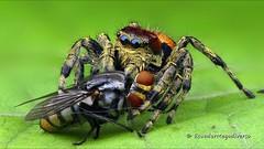 Jumping spider, Phiale gratiosa? at breakfast (Ecuador Megadiverso) Tags: jumpingspider phialegratiosa salticidae spider ecuador amazon rainforest tropic andreaskay video