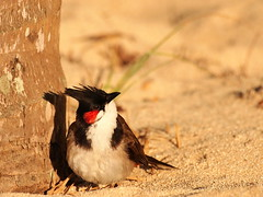 Red Whiskered Bulbul (jeff.dugmore) Tags: mauritius lemorne beach shore seaside sunshine sun sand tree bird redwhiskeredbulbul colours tropical coast indianocean travel exotic nature paradise tranquil vacation outside outdoors holiday red black olympus wildbird bokeh wildlife feathers light