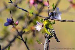 "AmericanGoldFinch_01 (DonBantumPhotography.com) Tags: wildlife nature birds animals americangoldfinch finch ""donbantumphotographycom"" ""donbantumcom"""