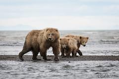 _HB31269 (Hilary Bralove) Tags: lakeclarknationalparkbrownbearsbearsalaskanikonwildlifegrizzlygrizzlybearbrownbearanimalswildlifephotographer alaksa brownbears grizzlybears bear bears grizzly brownbeargrizzly bearlake clarkwildlifealaska wildlifenikonlake clark national park