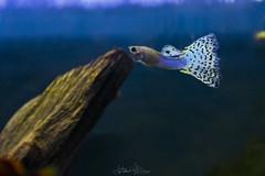Galaxy (antoniomolitierno) Tags: pesce acquario galassia blu verde maschio arco nuoto natura mood fish aquarium galaxy blue green male bow i swim nature canon eos 760d guppy