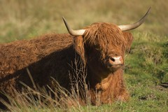 ImAlright (Tony Tooth) Tags: nikon d7100 sigma 50500mm cow cattle animal highlandcattle horns rudyard staffs staffordshire farming