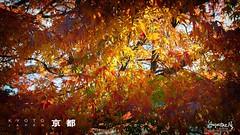2019#11 (Augustinwee Photography) Tags: winter 京都 sagano arashiyama outdoors nature mapleleaves sunrise tour travel japan kyoto leaf augustinwee