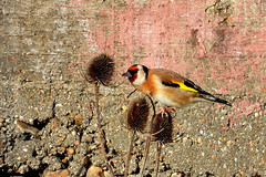 Goldfinch, Newhaven, Feb 11 2019, P1 (10) (marilyndewar458) Tags: newhaven goldfinch teasel