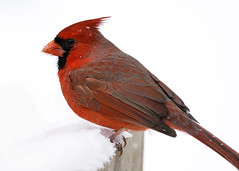 _A990934 (mbisgrove) Tags: a99m2 cardinal red a99ii sony bird snowflake snow