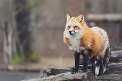 725A8525 (regisfiacre) Tags: parc animalier sainte croix saintecroix rhodes moselle france zoo animal animaux canon 5div mark iv 4 plein format full frame 100400mm is l renard fox fuchs