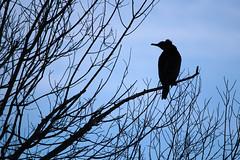 Phalacrocorax carbo (Great cormorant, Grand cormoran) (Sophie Giriens) Tags: phalacrocorax grand cormoran great cormorant carbo silhouette