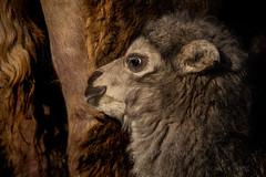 Trampeltier (chen) (Anja Anlauf) Tags: trampeltier tier natur männlich dschigit säugetier jung kamel