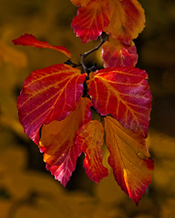 Shades of Red (MrBlueSky* TAKING A BREAK) Tags: leaf leaves nature outdoor colour red garden horticulture autumn kewgardens royalbotanicgardens london pentax pentaxart pentaxlife pentaxawards pentaxflickraward pentaxk1mkii aficionados