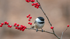 Black-capped Chickadee (Poecile atricapillus) (ER Post) Tags: bird blackcappedchickadeepoecileatricapillus chickadee jenison michigan unitedstates us winterberry michiganholly ilexverticillata