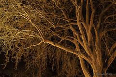 Le platane d'Estampon_1623 (Luc Barré) Tags: platane arbre tree moon ligth ciel étoile étoiles estampon landes soir france losse