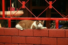between bricks and bars (the foreign photographer - ฝรั่งถ่) Tags: cat red brick bars khlong thanon bangkhen bangkok thailand canon
