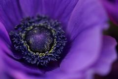 Anemone (Tashata) Tags: macro nature plant petals flower flora beautiful botanical bright bokeh blooming blossom closeup dof dark darkness depthoffield black violet composition sony anemone