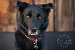 Picture of the Day (Keshet Kennels & Rescue) Tags: adoption dog ottawa ontario canada keshet large breed dogs animal animals pet pets field nature photography winter snow handsome striking brown eyes black mix mixed gaze soulful soul