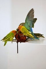 Polly Morgan,  Myocardial Infarction, 2013, Taxidermy sculpture (jacquemart) Tags: pollymorgan myocardialinfarction 2013 taxidermysculpture walsall newartgallery westmidlands