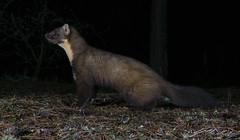 Sniffing the night air (tobyhoulton) Tags: animal mammal uk scotland wildlife nature pine marten martes night garden alert toby houlton nikon d7200