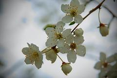 Kirschblüte im Regen (tucsontec) Tags: kirschblüte blüte frühling springtime spring nahaufnahme blossom