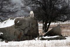 Amherst Snowy Owl (Arvo Poolar) Tags: outdoors ontario canada arvopoolar naturallight nikond7000 bird raptor birdofprey snowyowl nature natural naturephotography winter snow rocks