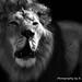 Male lion ZSL