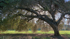 Live Oak, St. Joseph's Meadow (James L. Snyder) Tags: quercusagrifolia quercus californialiveoak coastliveoak liveoak oak evergreen tree trees leaves foliage canopy branches bark trunk grass foothills ridge field meadow pasture lea edge ranch countypark park graceful outstretched native gnarled flat level vernal lush verdant one lone solitary old rural country silhouette statuesque intricate sunlight backlighting gleaming shimmering glimmering sun bluesky flare sunbeams sunburst sunny cloudless clear permanentecreektrail stjosephsmeadow stjosephscollege ranchosanantonio santaclaravalley sanfranciscopeninsula bayarea cupertino santaclaracounty santacruzmountains california usa horizontal afternoon march spring 2018