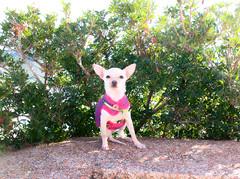 5230 - Missy (Diego Rosato) Tags: missy cane pet dog animal animale cucciolo puppy chihuahua cespuglio bush sperlonga borgo bourg fuji x30 rawtherapee