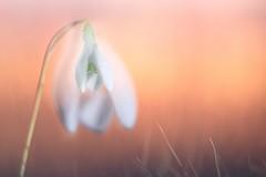 dreaming (SonjaS.) Tags: dreaming träumen doppelbelichtung doubleexposed sonnenuntergang sunset schneeglöckchen snowdrop farben orange pink canoneos6dmarkii ef100mmf28lmacroisusm makro sonjasayer