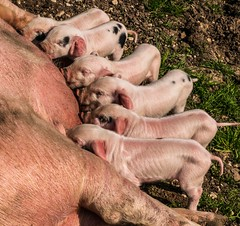 Suckling piglets (akatsoulis) Tags: d5300 nikon oxford pigs piglets sucklingpiglets