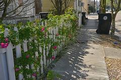 Bloomin' Fence (BKHagar *Kim*) Tags: bkhagar fence bloom blooms nola neworleans la hff shadows flowers vine garbagecan fleurdelis happyfencefriday